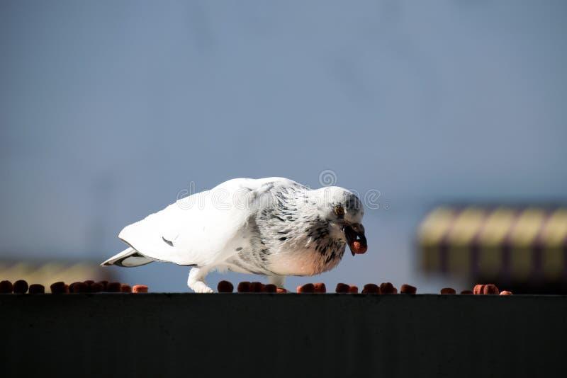 Download Ενιαίο πουλί που τρώει - περιστέρι βράχου ή αγριοπερίστερο Στοκ Εικόνα - εικόνα από αβινιόν, προσοχή: 62719881