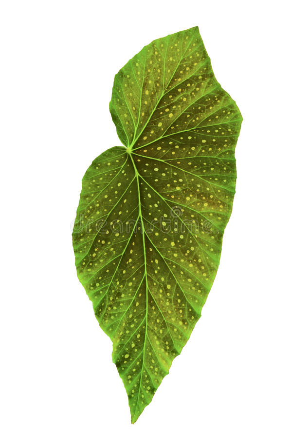 Ενιαίο πράσινο begonia αγγέλου φύλλο στοκ φωτογραφίες