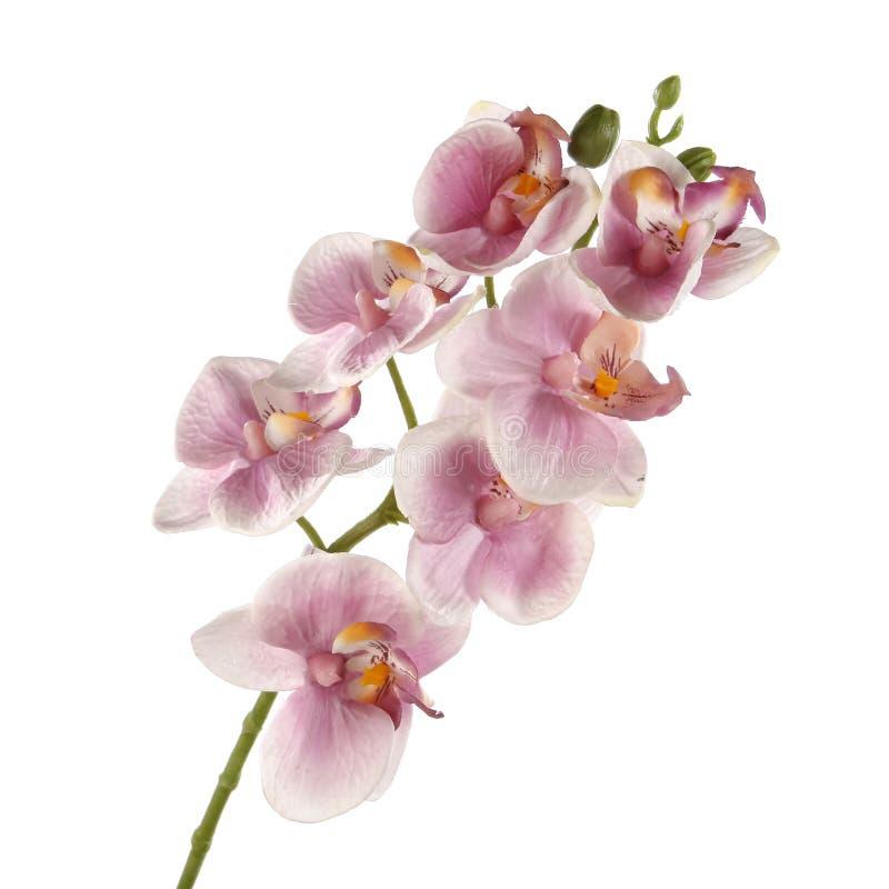 Ενιαίο ρόδινο Orchid που απομονώνεται στην άσπρη ανασκόπηση στοκ εικόνες