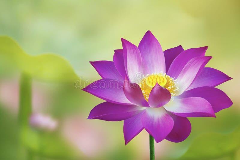 Ενιαίο ρόδινο λουλούδι Lotus στη φύση - λίμνη λωτού στοκ εικόνες