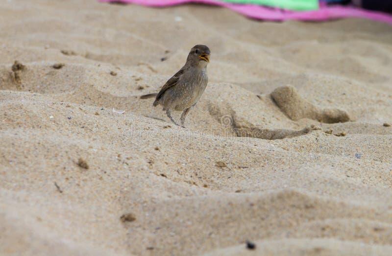 Ενιαίο σπουργίτι, που ψάχνει για τα τρόφιμα στην παραλία στοκ φωτογραφίες