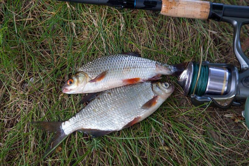 Ενιαίο του γλυκού νερού άσπρο bream ή ασημένιο bream, roach ψάρια στο gre στοκ εικόνες με δικαίωμα ελεύθερης χρήσης