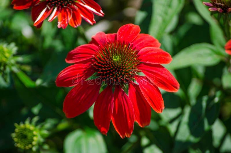 Ενιαίο όμορφο κόκκινο ` σομπρέρο echinacea ` λουλούδι Salsa σε μια εποχή άνοιξης σε έναν βοτανικό κήπο στοκ εικόνα με δικαίωμα ελεύθερης χρήσης