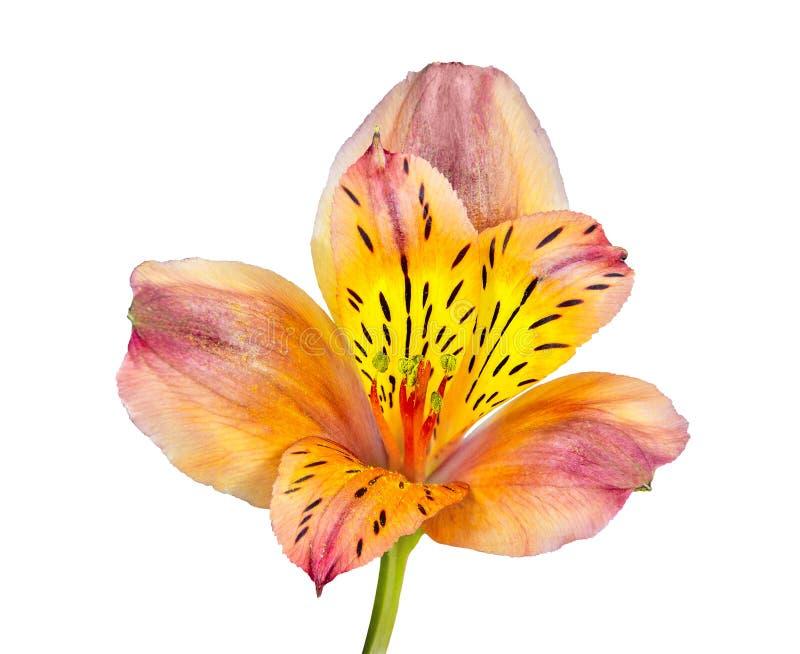 Ενιαίο όμορφο πορτοκαλί κίτρινο λουλούδι Alstroemeria που απομονώνεται στο W στοκ φωτογραφία