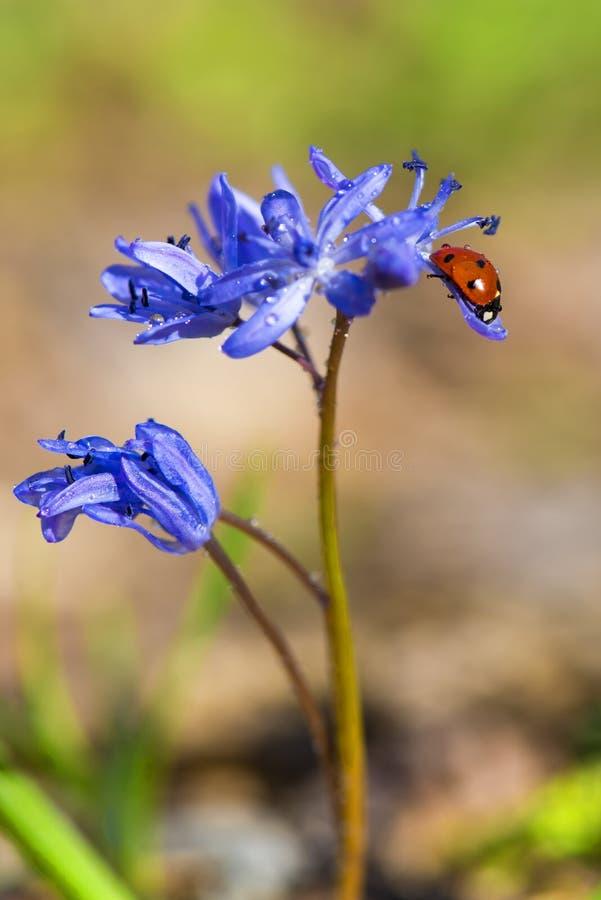 Ενιαίο όμορφο Ladybug στα ιώδη bellflowers την άνοιξη στοκ φωτογραφίες