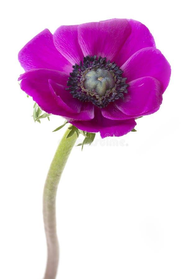 Ενιαίο Anemone στοκ εικόνα