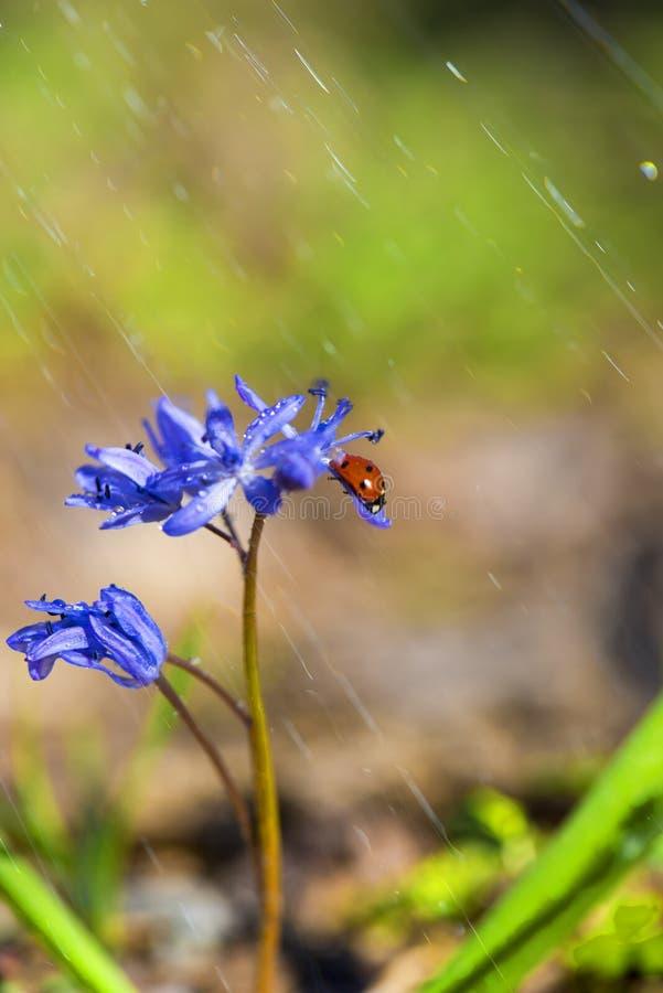 Ενιαίο Ladybug στα ιώδη bellflowers την άνοιξη στοκ εικόνα