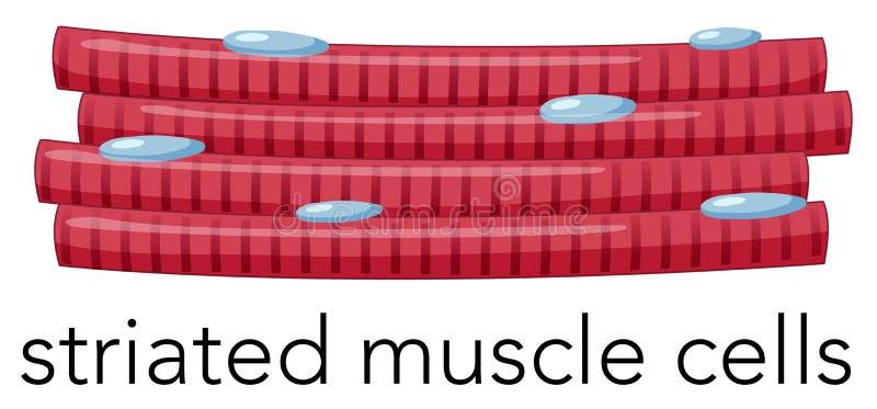 Ενισχυμένα striated κύτταρα μυών ελεύθερη απεικόνιση δικαιώματος