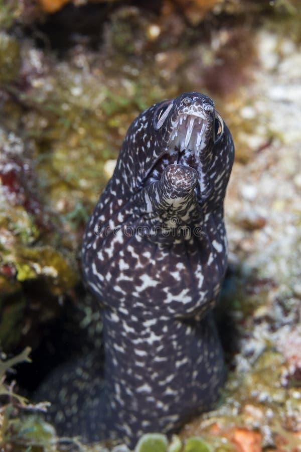 Εντοπίστηκε ο Μοράι σε κοραλλιογενή ύφαλο - Κοζουμέλ στοκ εικόνες