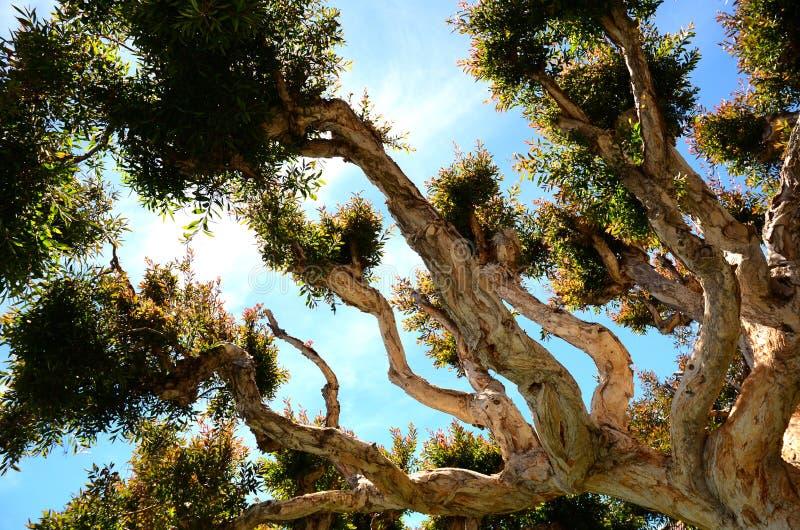 Εντυπωσιακό δέντρο σε Sausalito Καλιφόρνια στοκ εικόνα με δικαίωμα ελεύθερης χρήσης