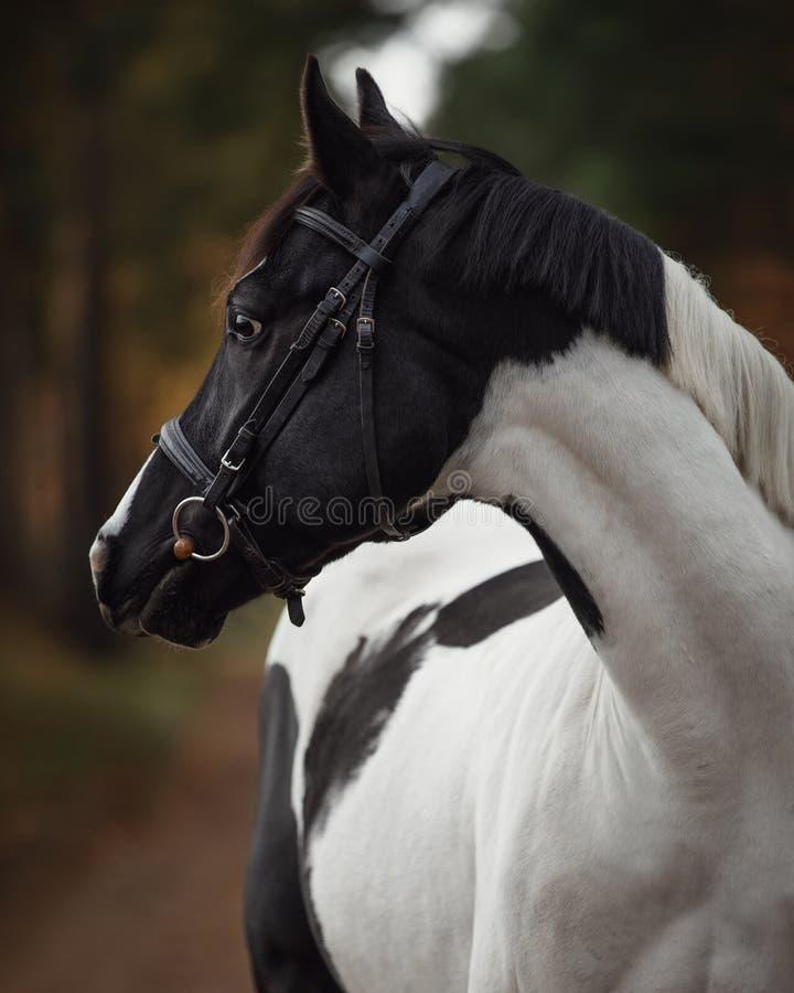 Εντυπωσιακό μαύρο και άσπρο άλογο στο φθινοπωρινό δάσος στοκ φωτογραφία