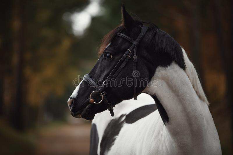 Εντυπωσιακό μαύρο και άσπρο άλογο στο φθινοπωρινό δάσος στοκ εικόνες