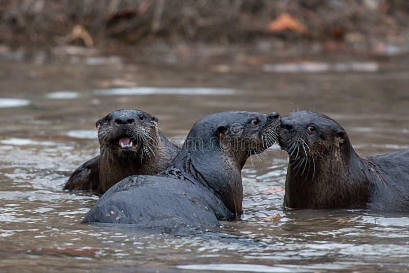 Ενυδρίδες ποταμών στο παιχνίδι στοκ φωτογραφία