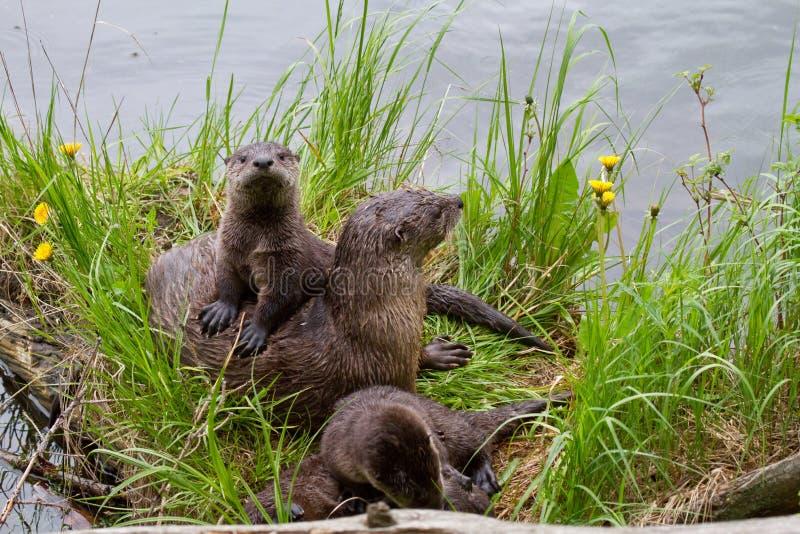 Ενυδρίδα Mom ποταμών και κουτάβια στοκ φωτογραφία