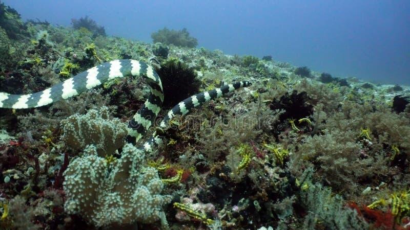 Ενωμένο φίδι θάλασσας στοκ εικόνες