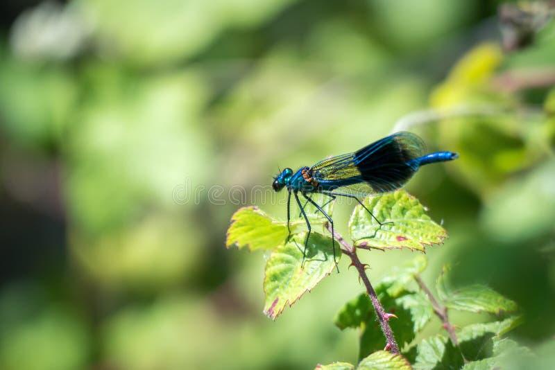 Ενωμένο demoiselle (Calopteryx splendens) αρσενικό στοκ φωτογραφίες