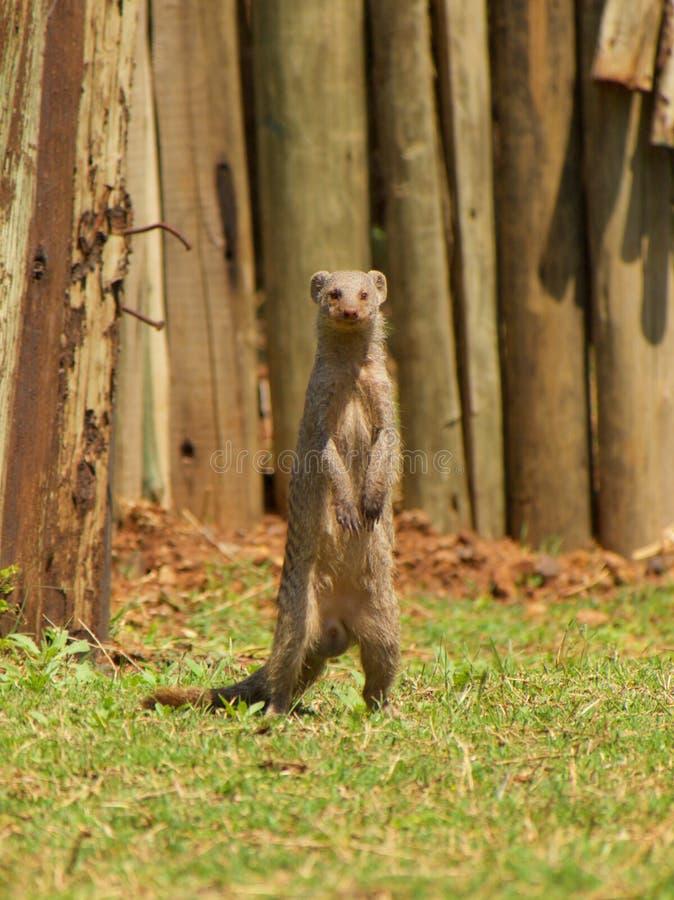 ενωμένο mongoose στοκ εικόνα