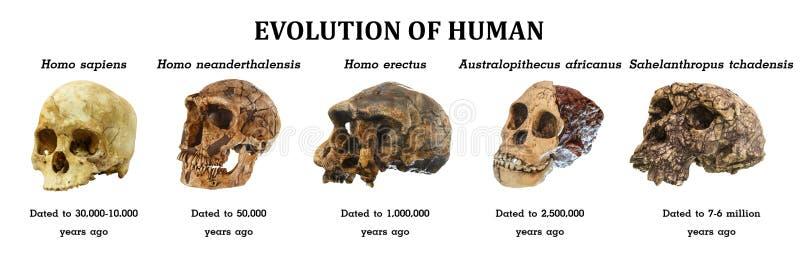 Εξέλιξη του ανθρώπινου tchadensis Sahelanthropus κρανίων Africanus αυστραλιανών πιθίκων Άνθρωπος Erectus Neanderthalensis ανθρώπω στοκ εικόνες
