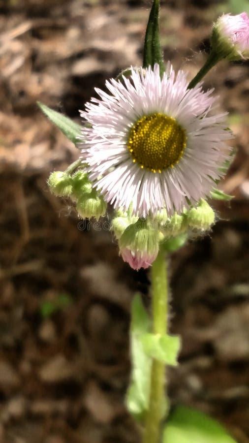 Εξασθενημένο ρόδινο wildflower στοκ φωτογραφία με δικαίωμα ελεύθερης χρήσης