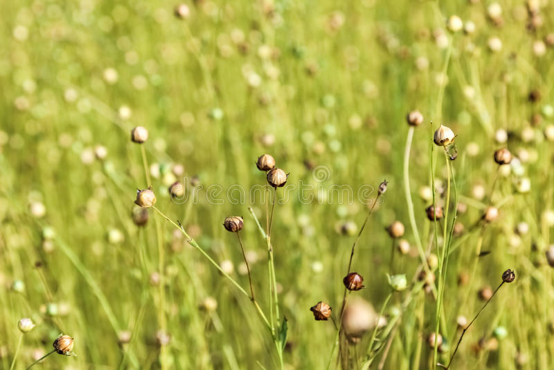 Εξασθενισμένα λουλούδια του λιναριού στοκ εικόνα