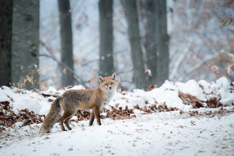 Εξασθενισμένη φωτογραφία χειμερινών κόκκινη αλεπούδων στοκ εικόνα