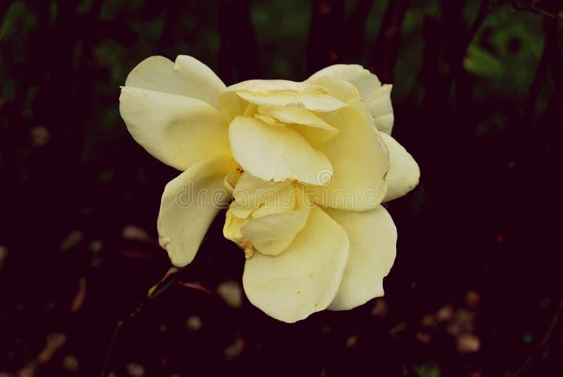 εξασθενισμένος αυξήθηκε κίτρινος στοκ εικόνες με δικαίωμα ελεύθερης χρήσης