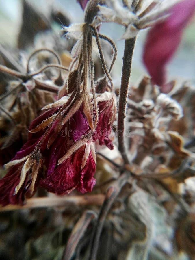 Εξασθενισμένο λουλούδι γερανιών στοκ εικόνες με δικαίωμα ελεύθερης χρήσης