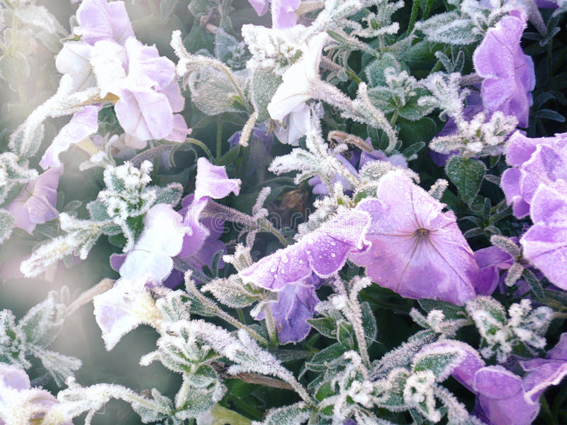 Εξευγενίστε τα παγωμένα λουλούδια στοκ φωτογραφία με δικαίωμα ελεύθερης χρήσης