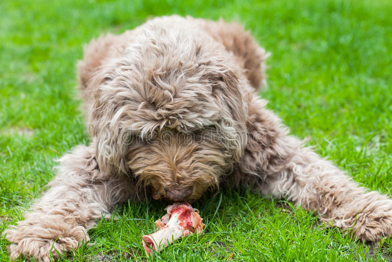Εξημερωμένο σκυλί που τρώει ένα νόστιμο κόκκαλο έξω στη χλόη στοκ φωτογραφία