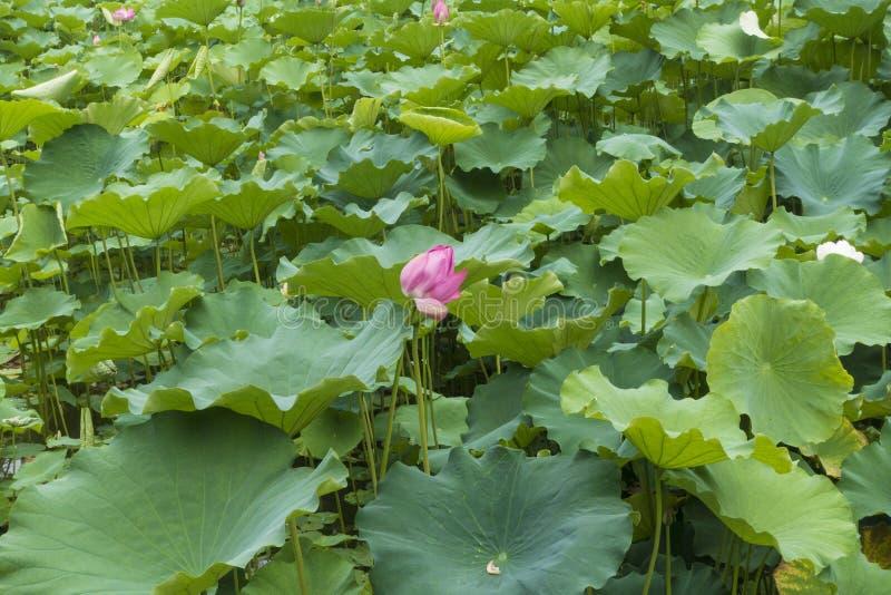 Εξωραϊσμός λιμνών Lotus στοκ φωτογραφία με δικαίωμα ελεύθερης χρήσης