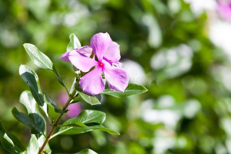 Εξωτικά ζωηρόχρωμα λουλούδια στο θάμνο με πολλά πράσινα φύλλα στοκ φωτογραφίες