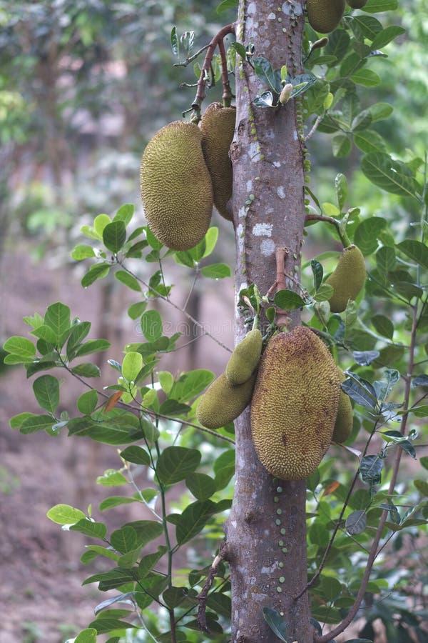 Εξωτικά πράσινα τραχιά φρούτα χαλκού στοκ εικόνα