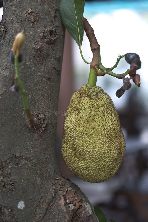Εξωτικά πράσινα τραχιά φρούτα χαλκού στοκ φωτογραφία με δικαίωμα ελεύθερης χρήσης