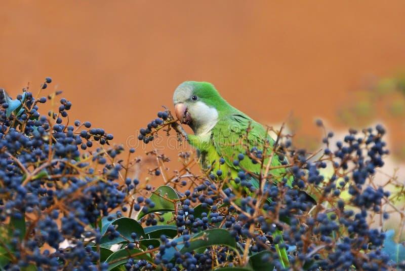 Εξωτική διατροφή παπαγάλων στοκ εικόνες