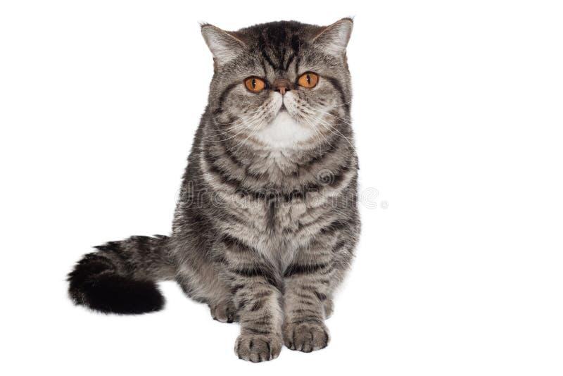Εξωτική με κοντά μαλλιά γάτα r κάθισμα μπροστά από το άσπρο υπόβαθρο στοκ εικόνες