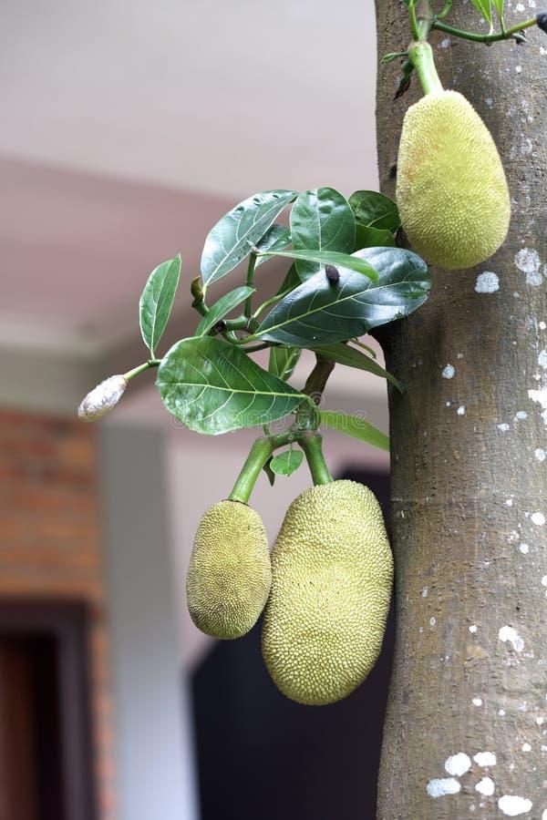 Εξωτικοί πράσινοι τραχιοί καρποί χαλκού των ινδικών αρτόκαρπων στοκ φωτογραφία με δικαίωμα ελεύθερης χρήσης