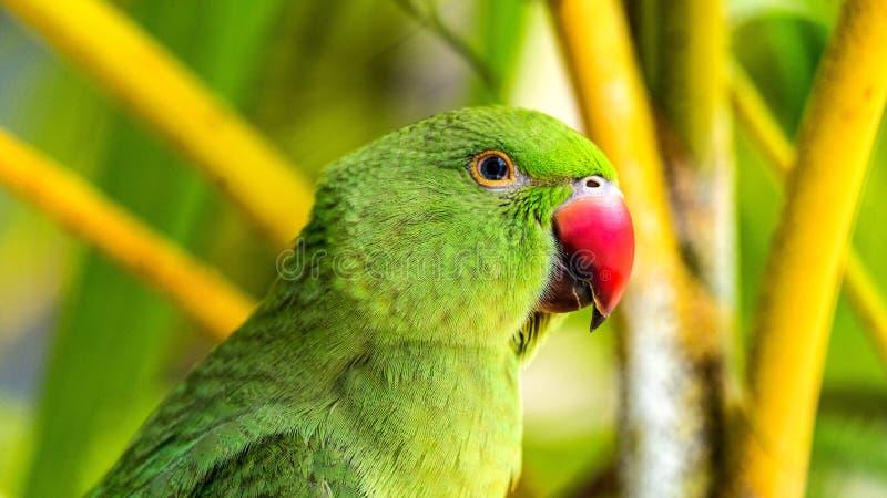 Εξωτικός παπαγάλος στις τροπικές δασικές Μαλδίβες άγριο δάσος τραγουδιού φύσης αγάπης αγριόγαλλων στοκ φωτογραφίες