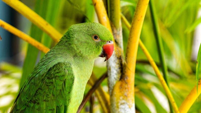 Εξωτικός παπαγάλος στις τροπικές δασικές Μαλδίβες άγριο δάσος τραγουδιού φύσης αγάπης αγριόγαλλων στοκ φωτογραφία
