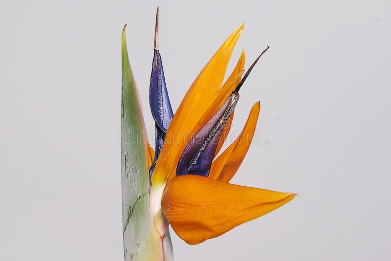 εξωτικό λουλούδι στοκ φωτογραφίες