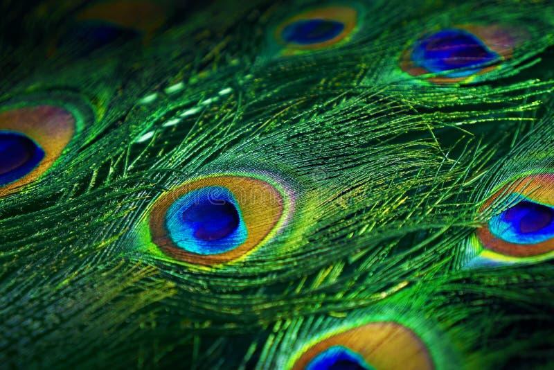 Εξωτικό φτέρωμα του ινδικού peacock στοκ εικόνες