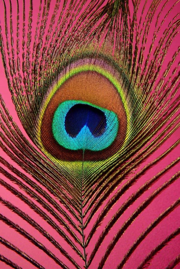 Εξωτικό φτερό peacock, κινηματογράφηση σε πρώτο πλάνο στο χρωματισμένο υπόβαθρο στοκ εικόνες με δικαίωμα ελεύθερης χρήσης