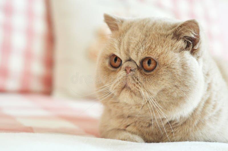εξωτικό shorthair γατών στοκ εικόνα