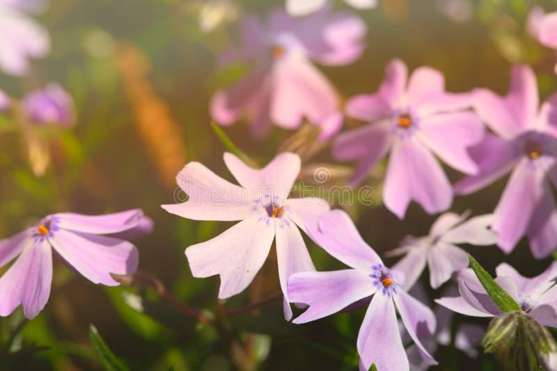 Επάνθιση των ιωδών λουλουδιών άνοιξη, αναμμένη με τον ήλιο στοκ φωτογραφία με δικαίωμα ελεύθερης χρήσης