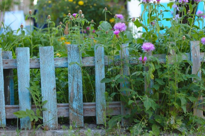 επάνθιση των ρόδινων λουλουδιών στο υπόβαθρο του παλαιού μπλε φράκτη στύλων στοκ φωτογραφία με δικαίωμα ελεύθερης χρήσης