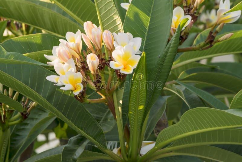 Επάνθιση των τροπικών εγκαταστάσεων plumeria Ανθίζοντας κλάδος plumeria Άσπροι και κίτρινοι λουλούδια και οφθαλμοί plumeria Flora στοκ φωτογραφίες