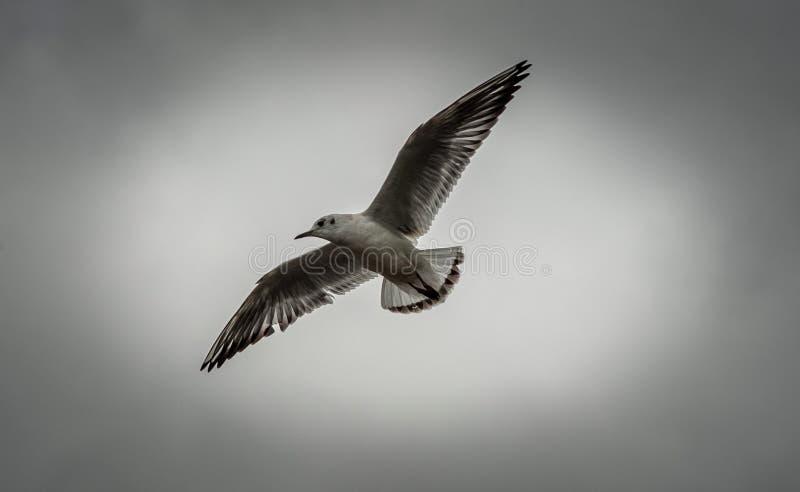 επάνω από τα σκοτεινά πετώντας ωκεάνια ανοικτά seagull πουλιών φτερά στοκ εικόνα με δικαίωμα ελεύθερης χρήσης