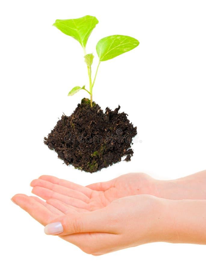επάνω από το πράσινο να αναπτύξει φυτό χεριών στοκ εικόνα