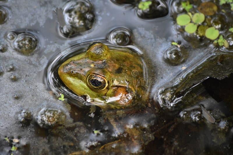 Επάνω σε στενό εξετάστε Bullfrog στο νερό ελών στοκ εικόνες με δικαίωμα ελεύθερης χρήσης