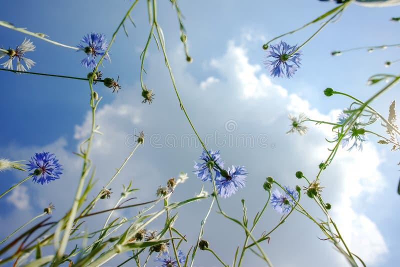 Επάνω στην άποψη σχετικά με τον ουρανό μέσω των μπλε λουλουδιών μαργαριτών, το θερινό άνθος στοκ εικόνα