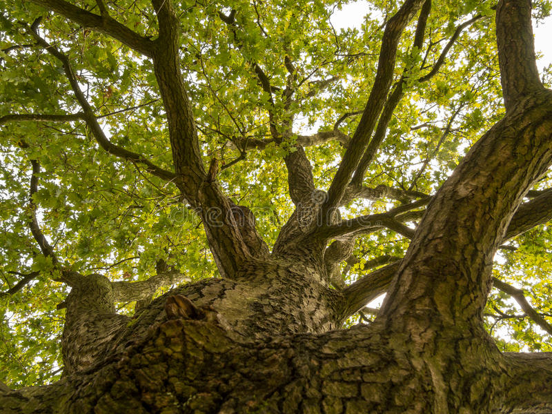 Επάνω στον κορμό ενός μεγάλου δρύινου δέντρου στοκ φωτογραφίες